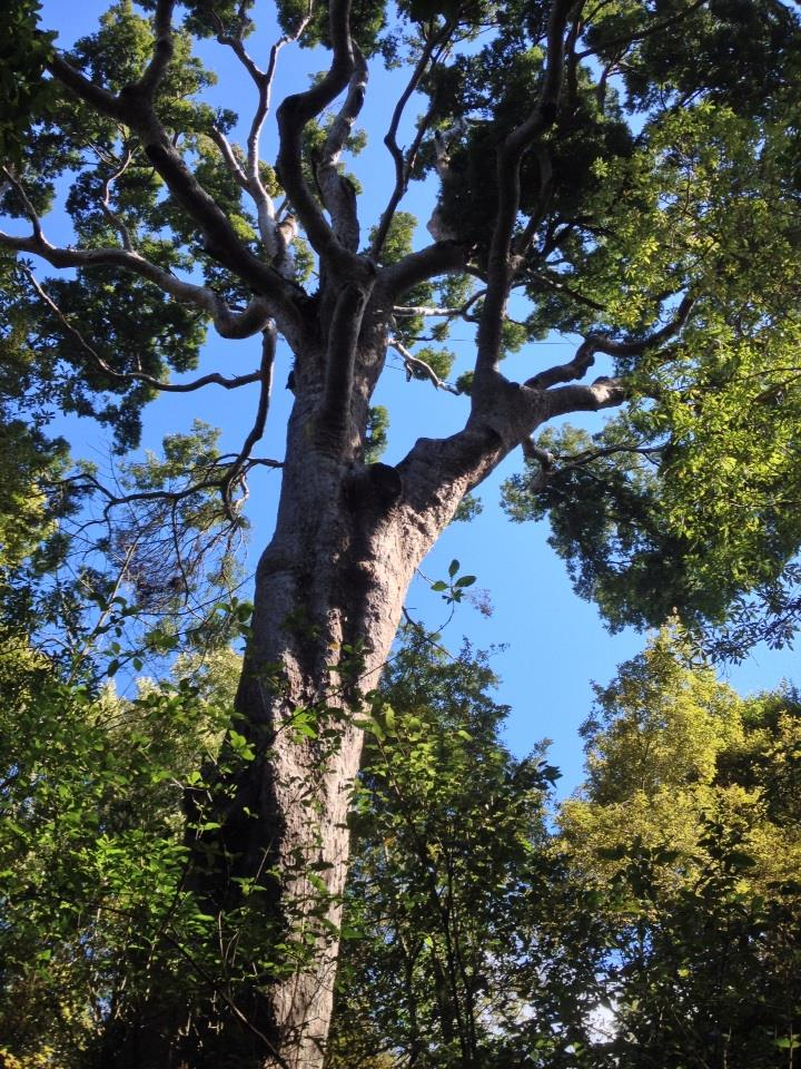 Our beautiful old Matai tree is now registered on the New Zealand Notable Trees Register